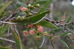 Calistemon-sp-River-Bottlebrush-Diversion-Weir-Werribee-Sun16Mar2014
