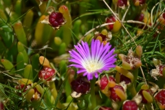 Carpobrotus-rossi-and-fruit-Grahams-WetlandReserve-Fri27Dec2013