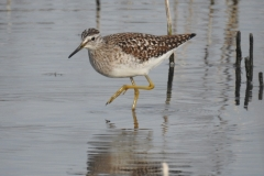 Sandpiper-Wood-WTP-Mon18Apr2016-2